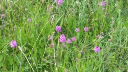 Pyramid orchids in grassland
